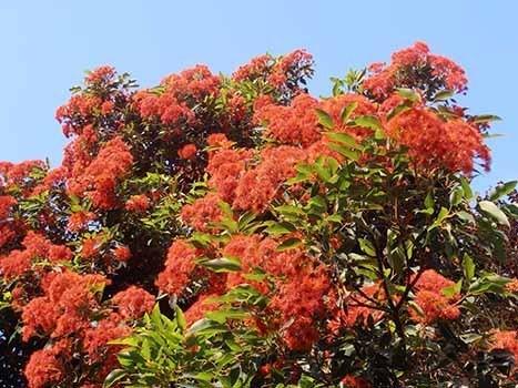 Eucalipto flores rojas