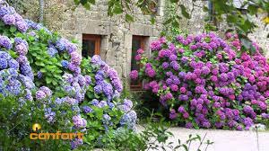 Cómo adornar patios o jardines con hortensias