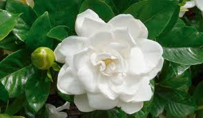 Cómo cuidar jardín con rosas y jazmines