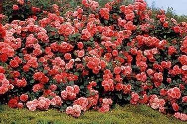 Tipos rosas