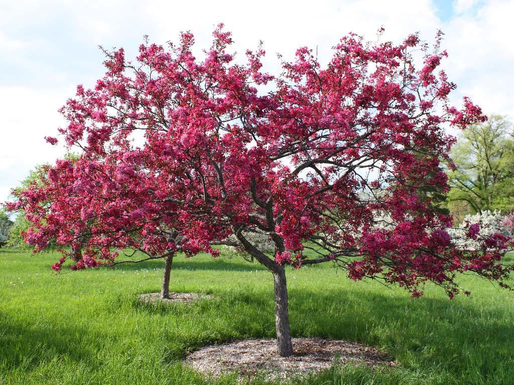 Tipos de rboles ideales para embellecer tu jard n for Arboles pequenos para jardin
