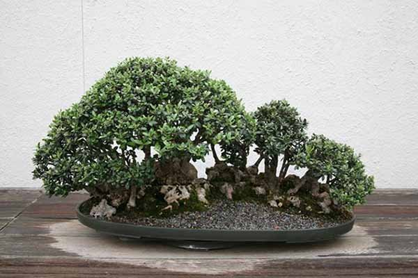 Cuidados bonsai olivo