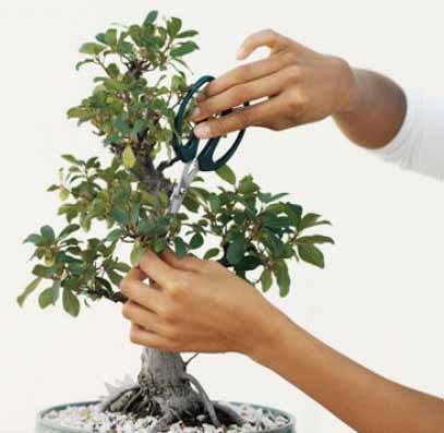 Creación de bonsái