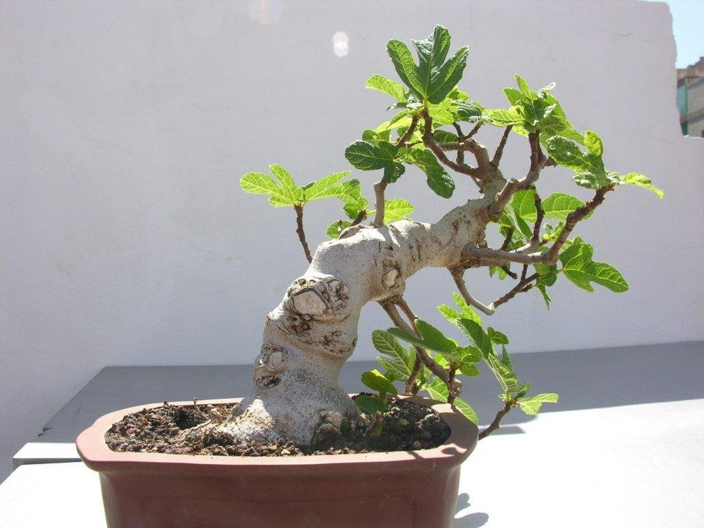Cuidados bonsai higuera