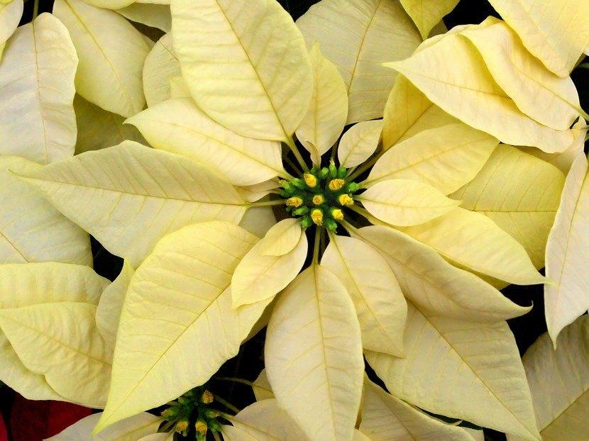 Cuidados flor Navidad