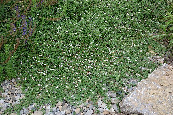 Plantas tapizantes para pisar