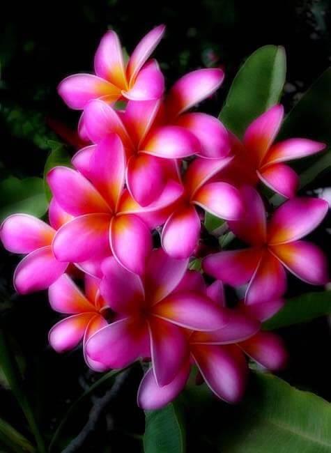 Las flores Hawaianas