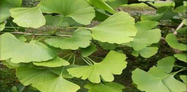 Ginkgo biloba hojas