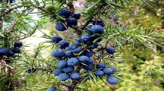 eneebro Juniperus communis arbol