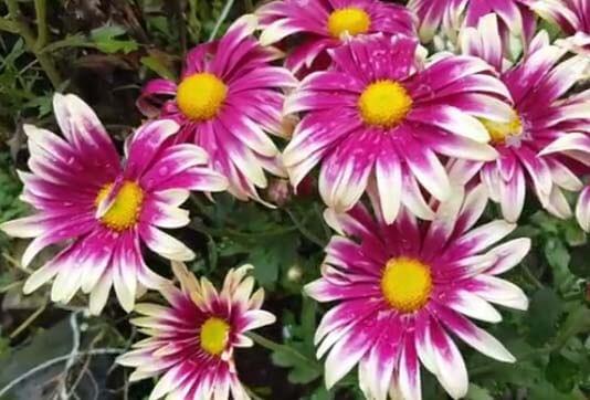 crisantemos o Chrysanthemum