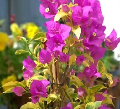 planta bunganvilla Bougainvillea cuidados