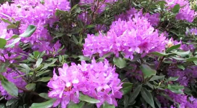 El rododendro o la azalea (Rhododendron