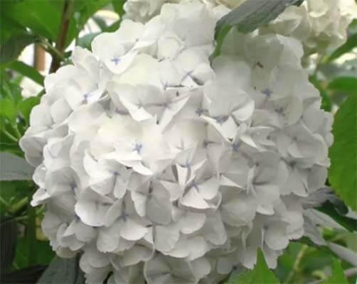 La hortensia o Hydrangea