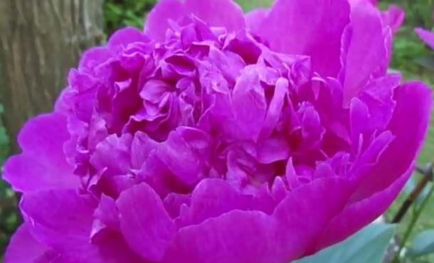 Peonia o Paeonia lactiflora