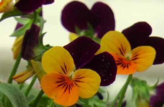 Pensamientos flor cuidados