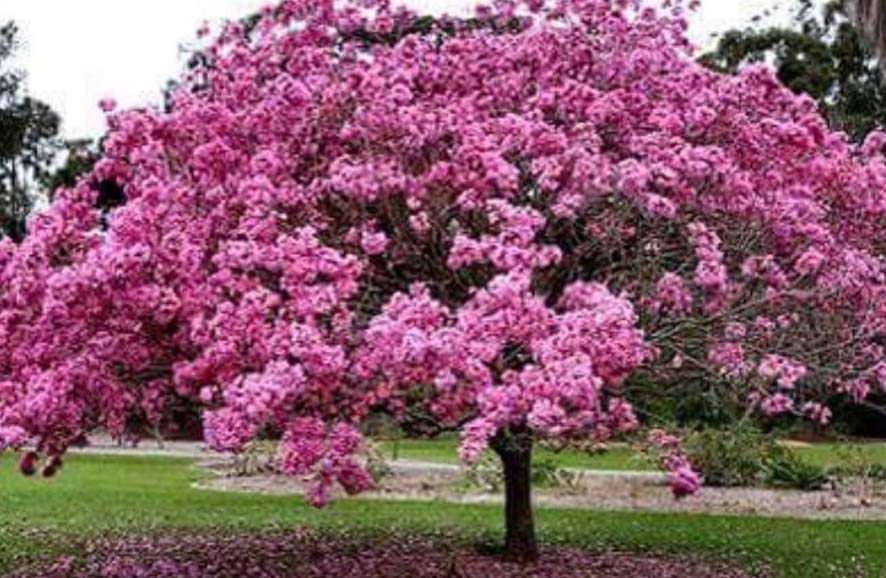 apamate ,Tabebuia rosea, guayacán rosado o maculís