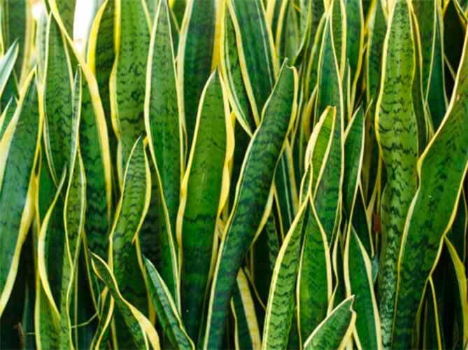 Sansevieria trifasciata , planta de la serpiente, lengua de la suegra, Espada de San Jorge , cola de lagarto