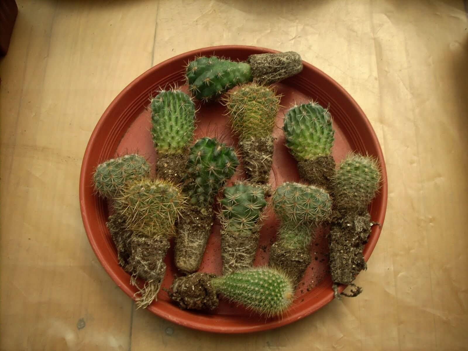 trasplantar los cactus