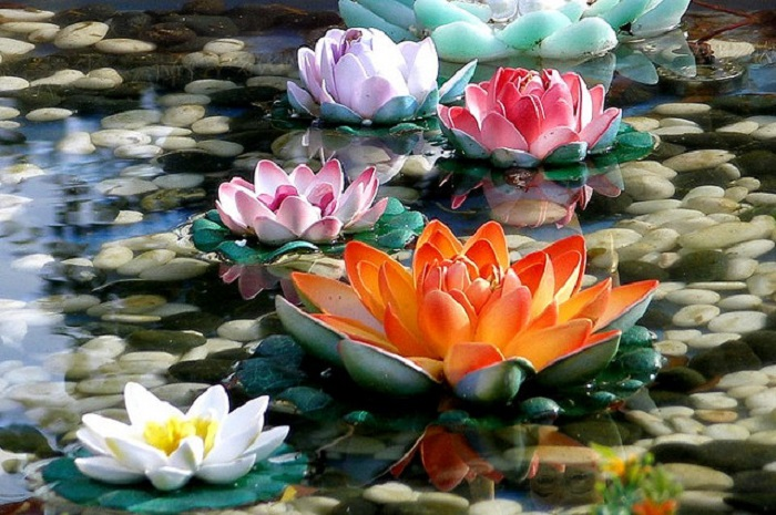 Flor de loto, su significado, Nelumbo nucifera