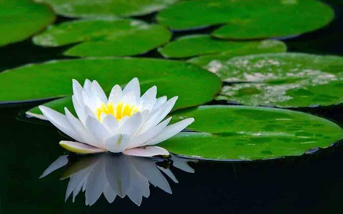 flor de loto, loto indio, loto sagrado, frijol de la India, frijol egipcio